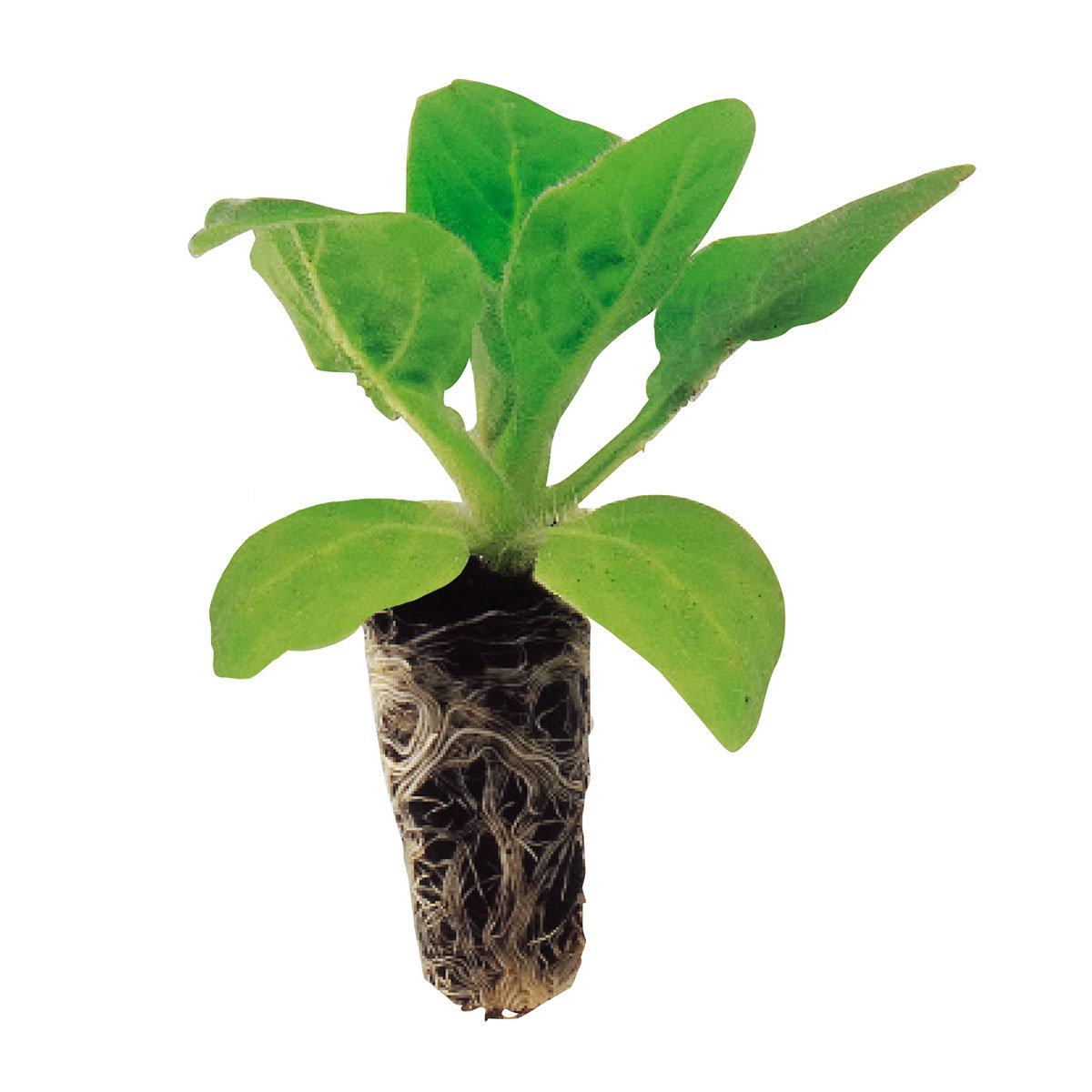Mini-Jungpflanzen Löwenmäulchen Floral Showers F1-Mischung | #2