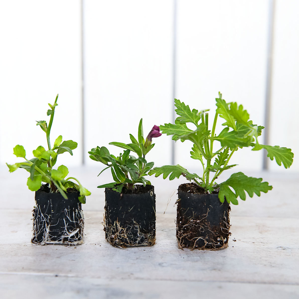 Mini-Jungpflanzen-Sortiment Pride of Britain | #2