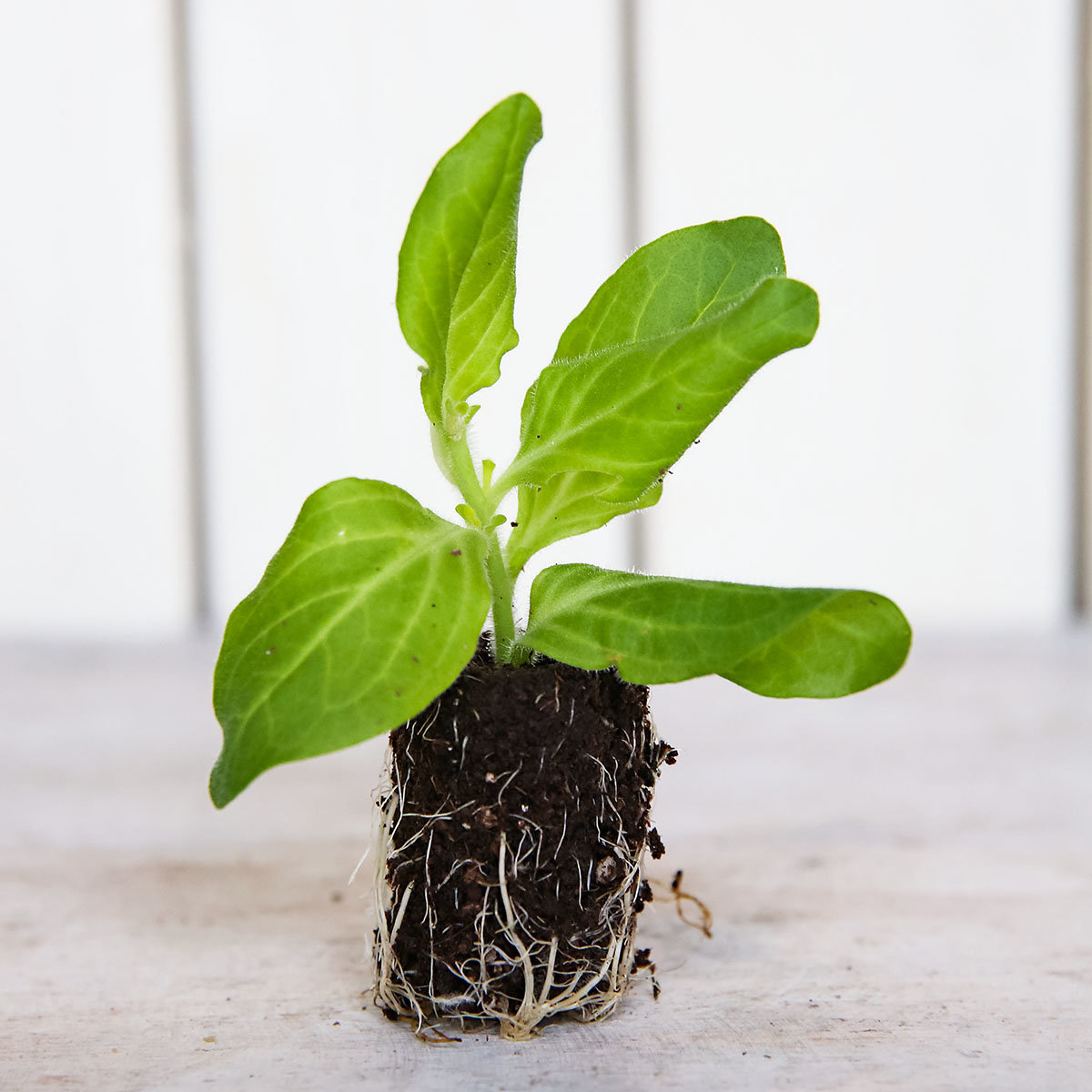 mini jungpflanzen sortiment surfinia petunien von g rtner p tschke. Black Bedroom Furniture Sets. Home Design Ideas