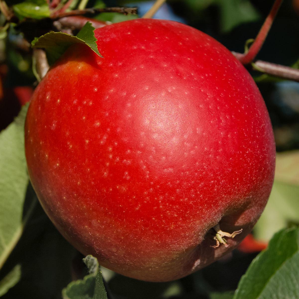 Apfel Mariella | #2