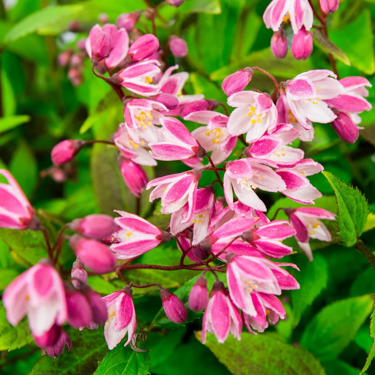 Sternchenstrauch Yuki Cherry Blossom® | #2