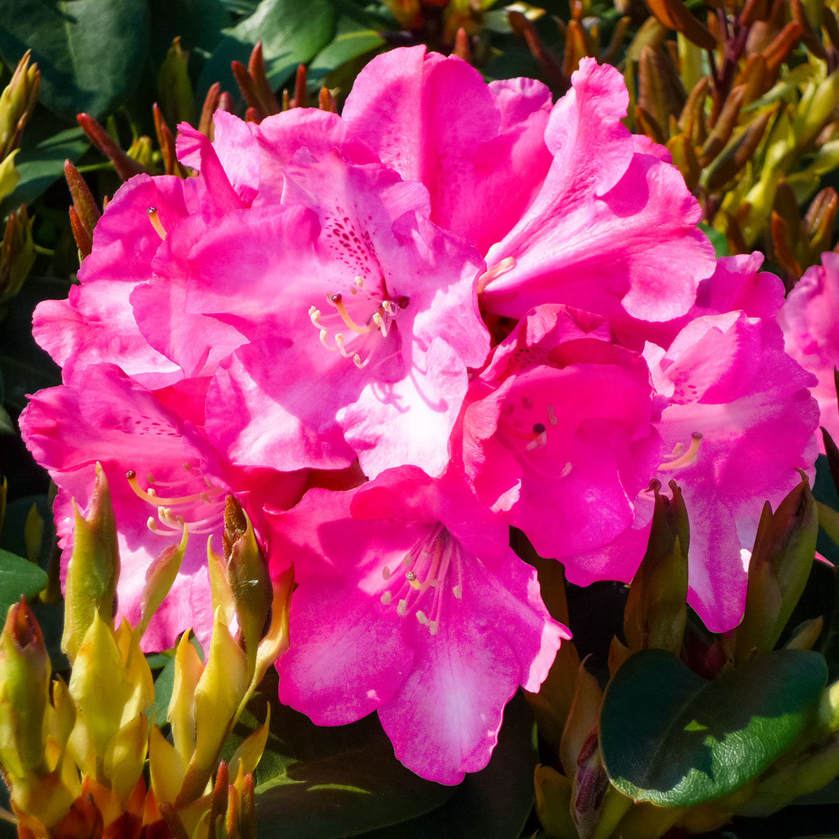 rhododendron gartendirektor glocker online kaufen bei g rtner p tschke. Black Bedroom Furniture Sets. Home Design Ideas