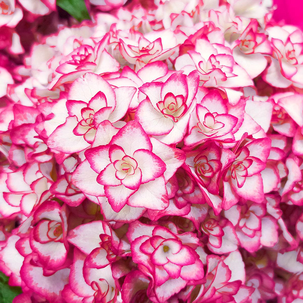 Garten-Hortensie Miss Saori, rosa, im ca. 15 cm-Topf | #2