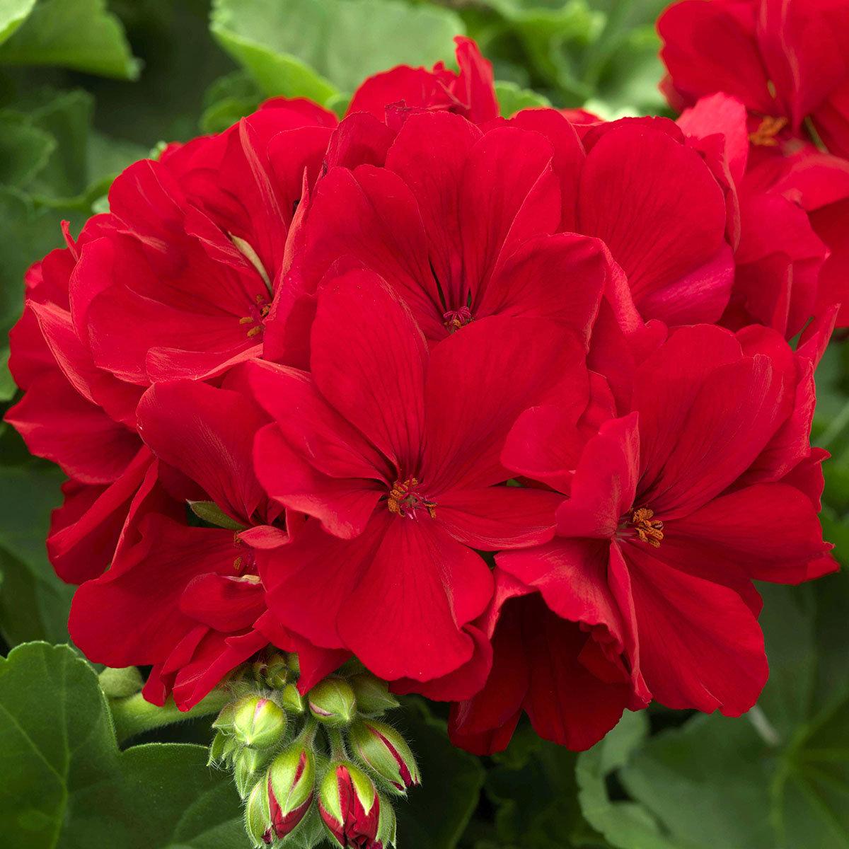 Calliope® Geranie Dark Red | #2