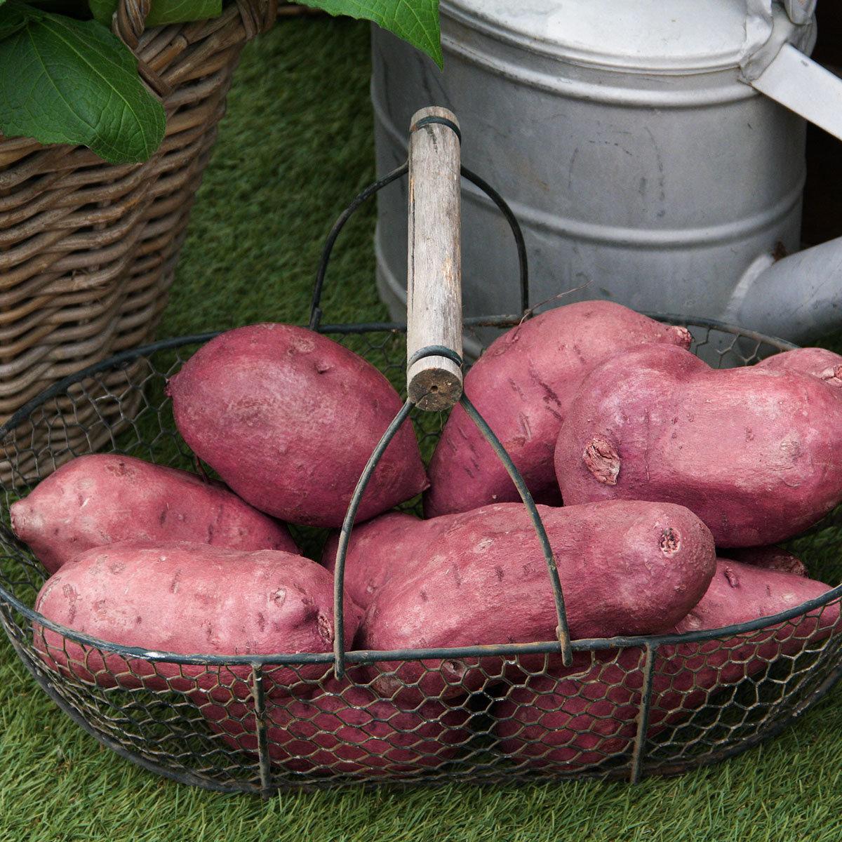 Süßkartoffelpflanze Erato Orange, im ca. 13 cm-Topf   #2