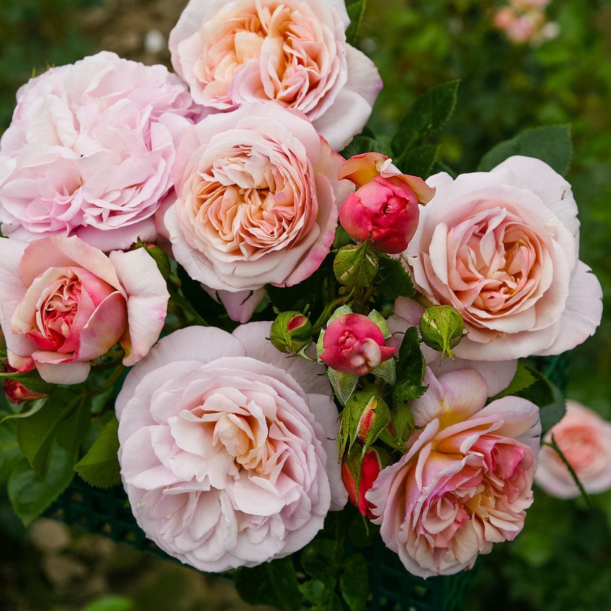 Rose Herkules, XL-Qualität | #2