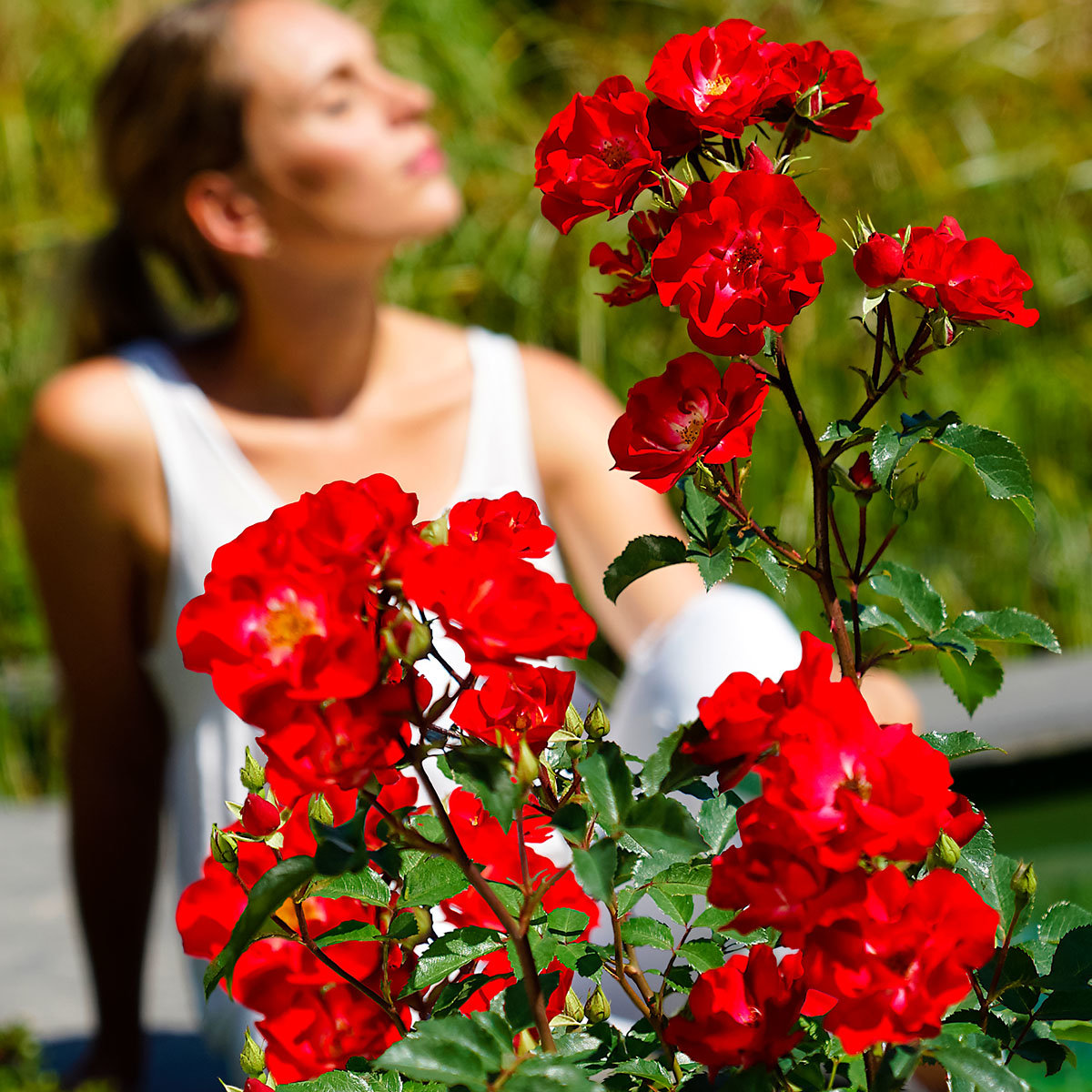 Phlox-Rose Rosy Boom®, rot, XL-Qualität | #2