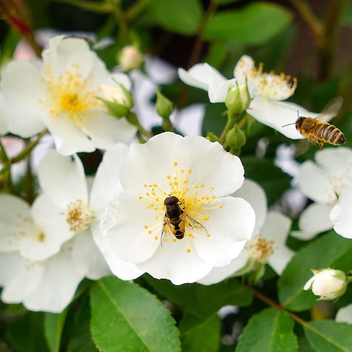 Phlox-Rose Rosy Boom®, weiß, XL-Qualität   #2