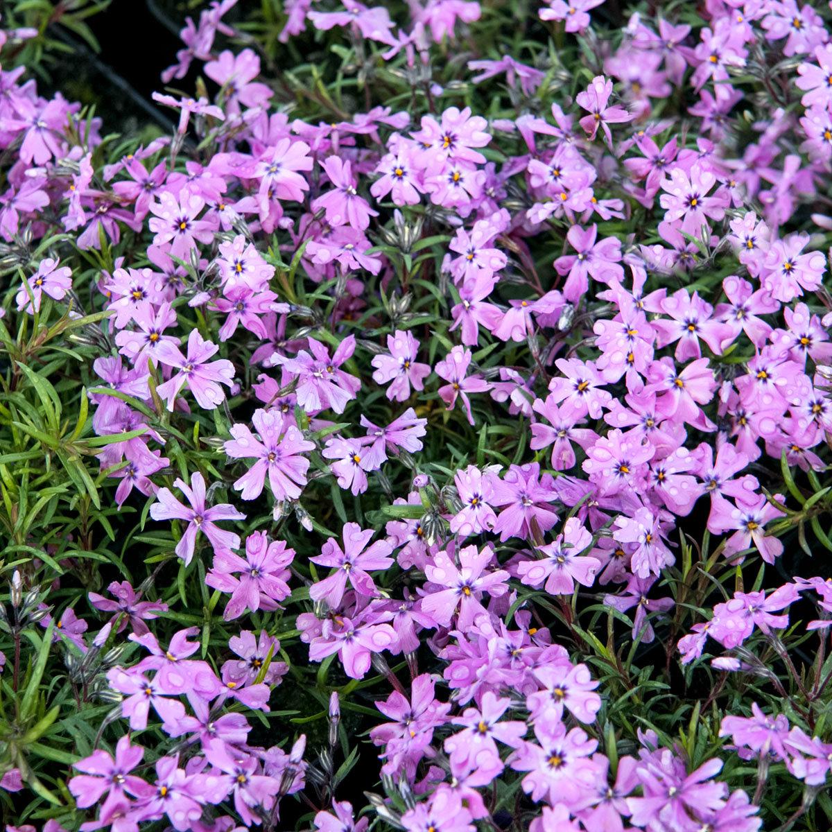 Polsterphlox Purple Beauty | #2