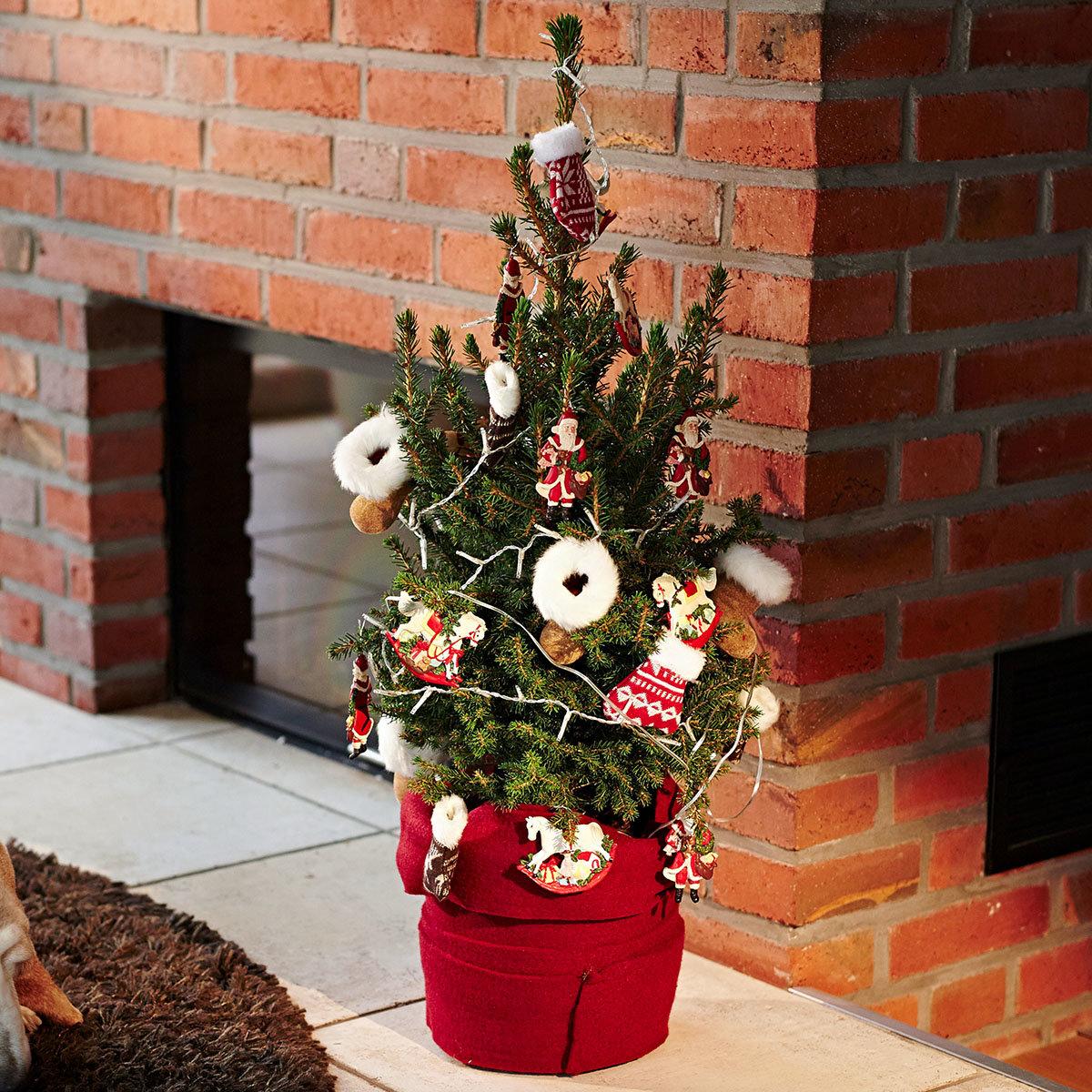 Zwergfichte Little Santa®, im ca. 23 cm-Topf | #2