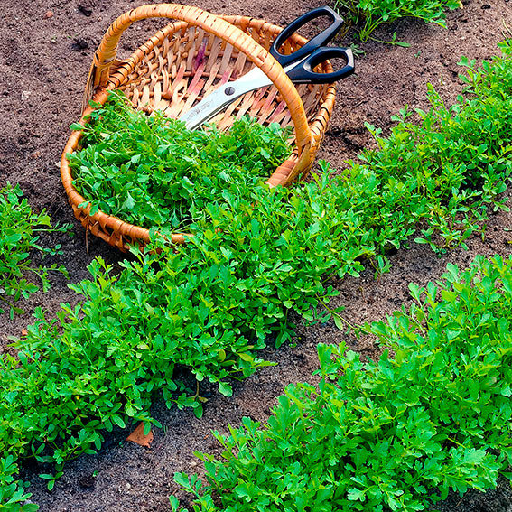 Salat-Kressesamen Olympus | #2