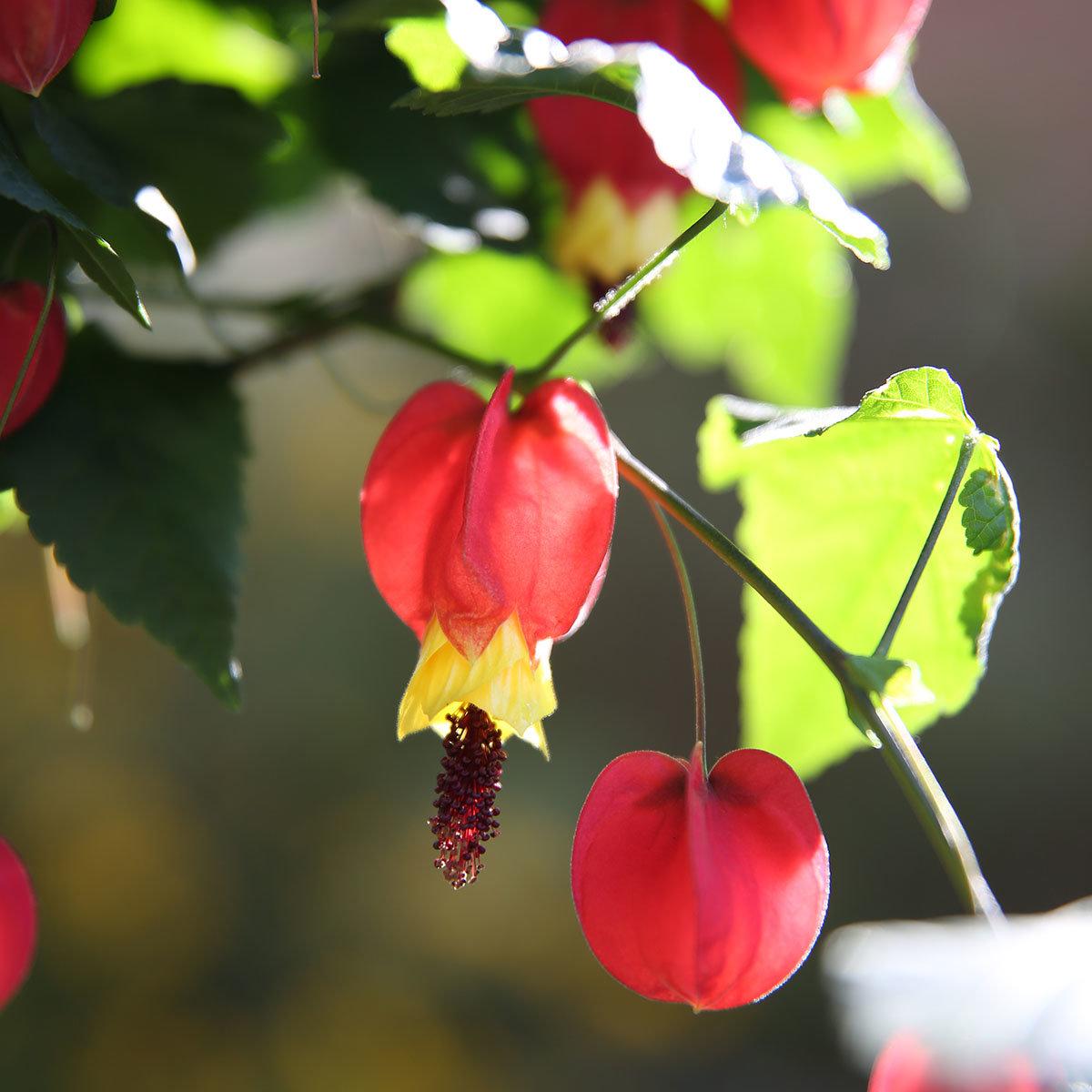 Schönmalven-Stamm, rot-gelb, im ca. 19 cm-Topf   #2