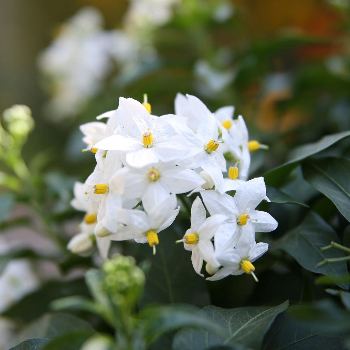 Sommer-Jasmin-Ampel, weiß, XL-Qualität | #2