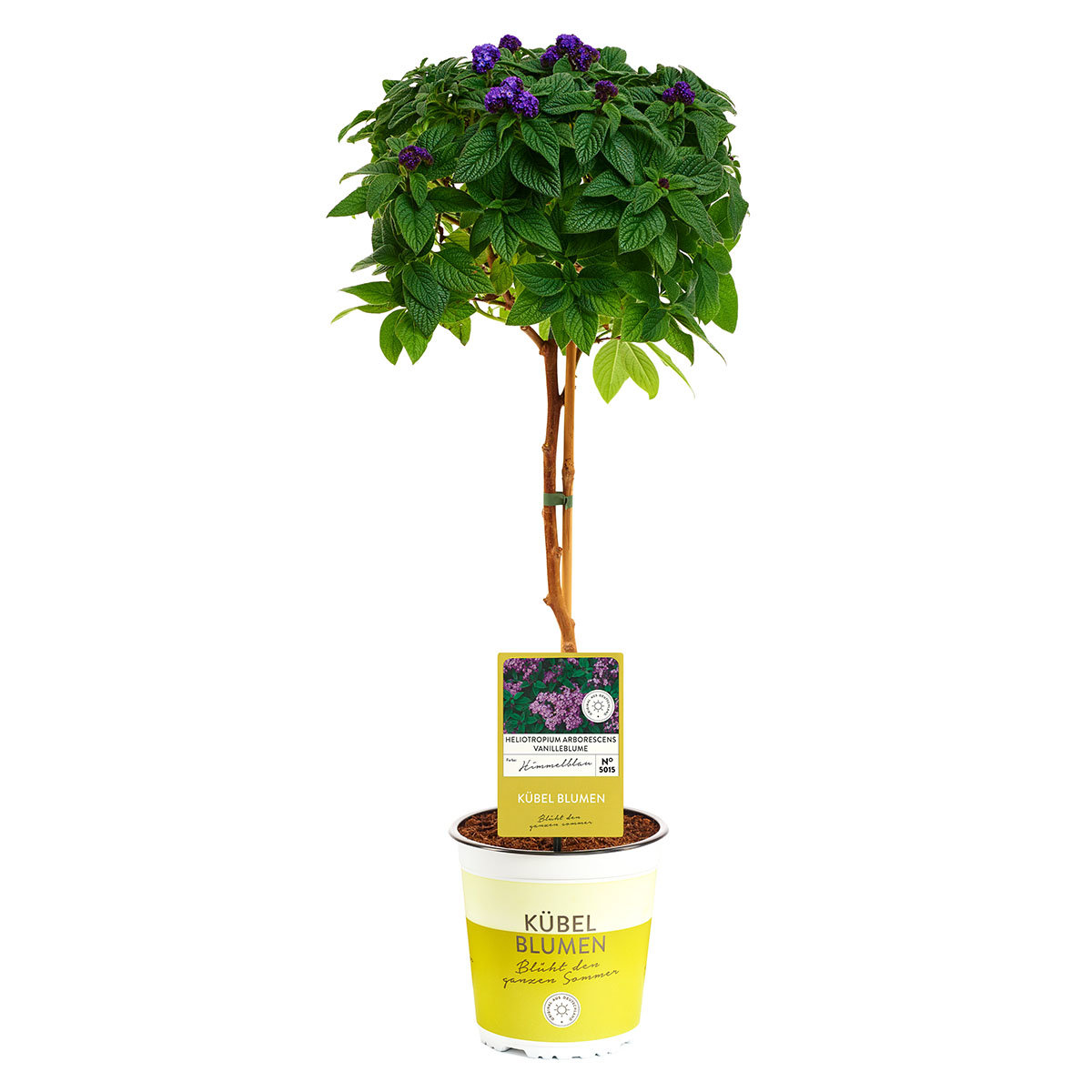 Vanille-Blume-Stämmchen, lila, im ca. 19 cm-Topf | #2