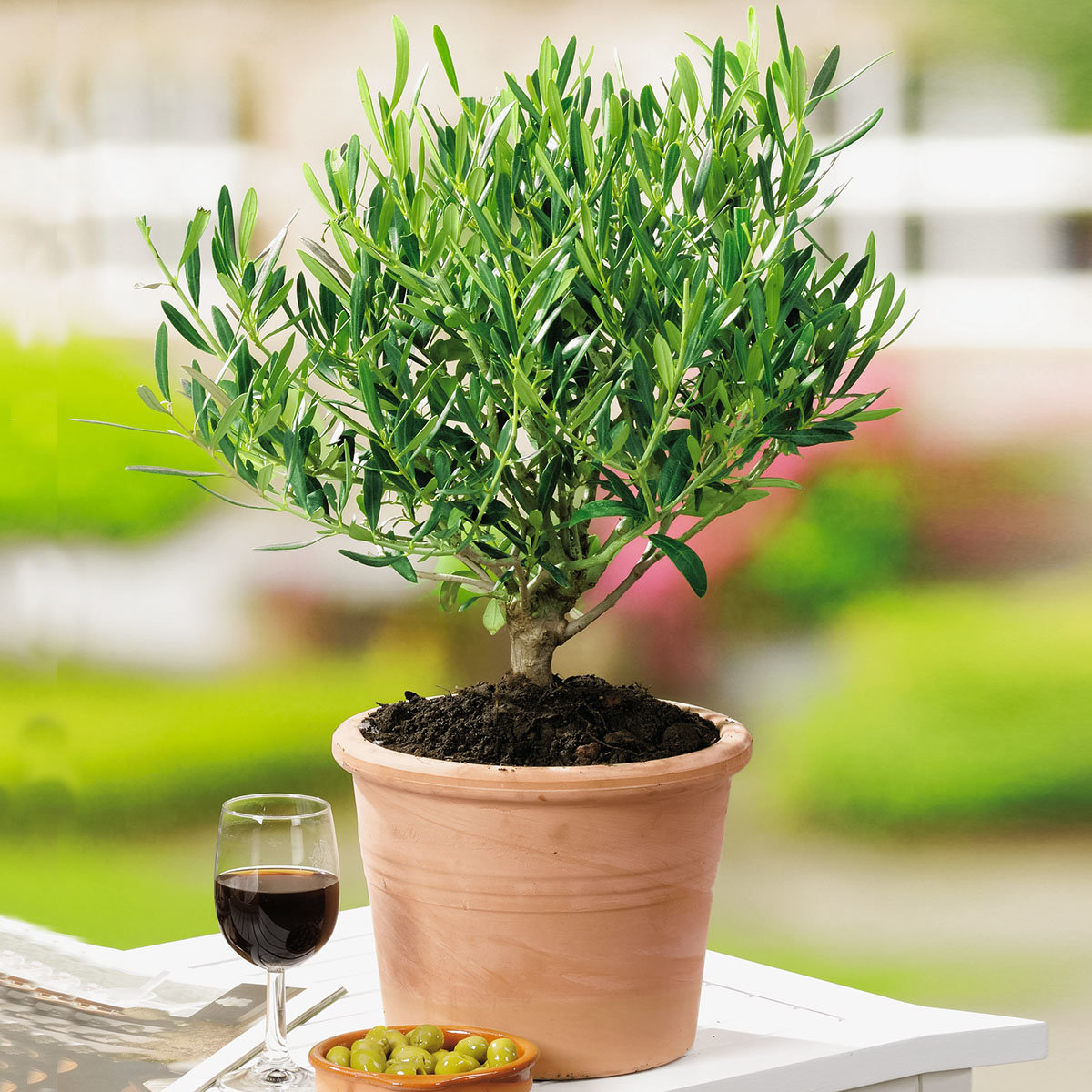 Mediterraner Mini-Olivenbusch, im ca. 14 cm-Topf | #2