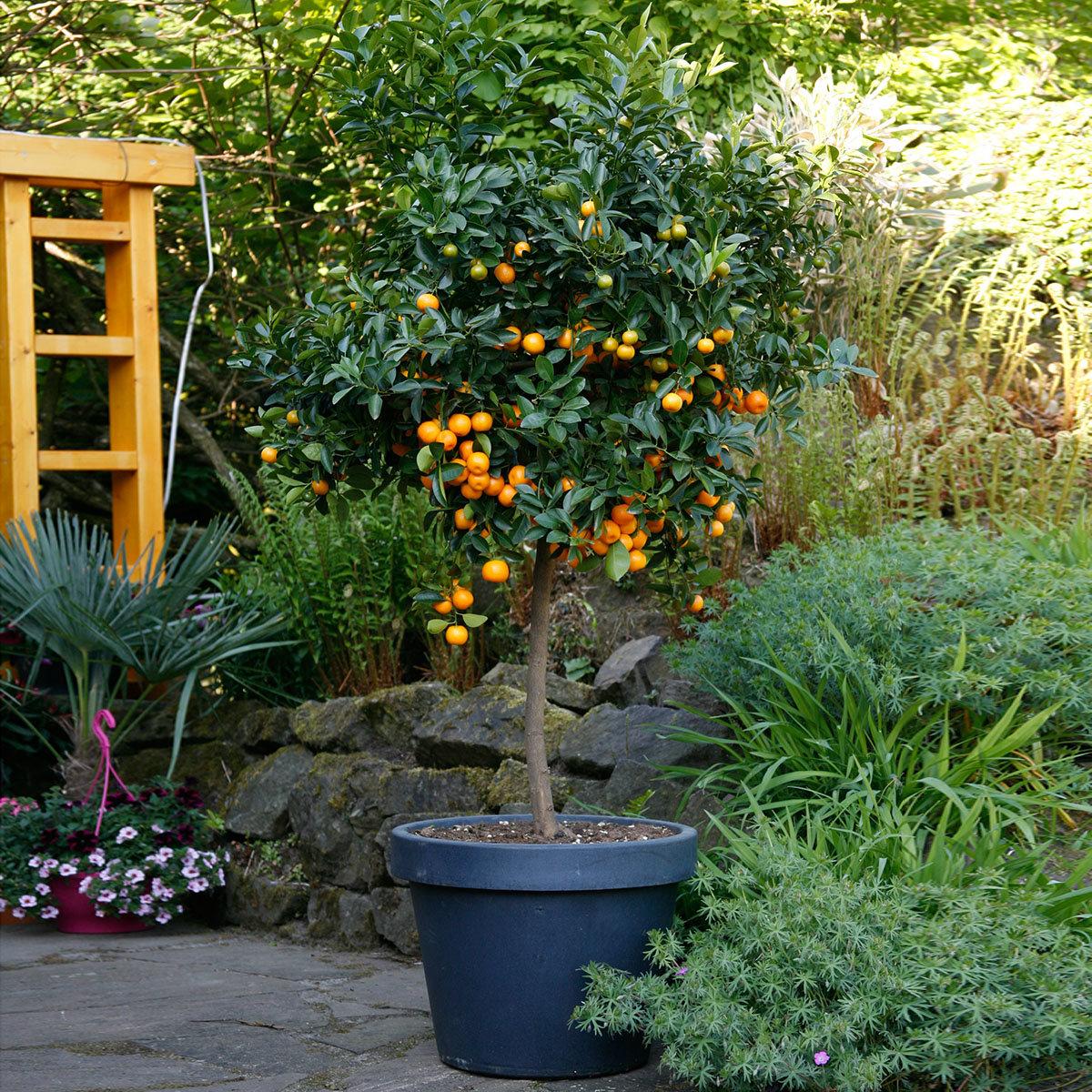 Calamondin-Orange XXL Stamm, im ca. 36 cm-Topf | #2