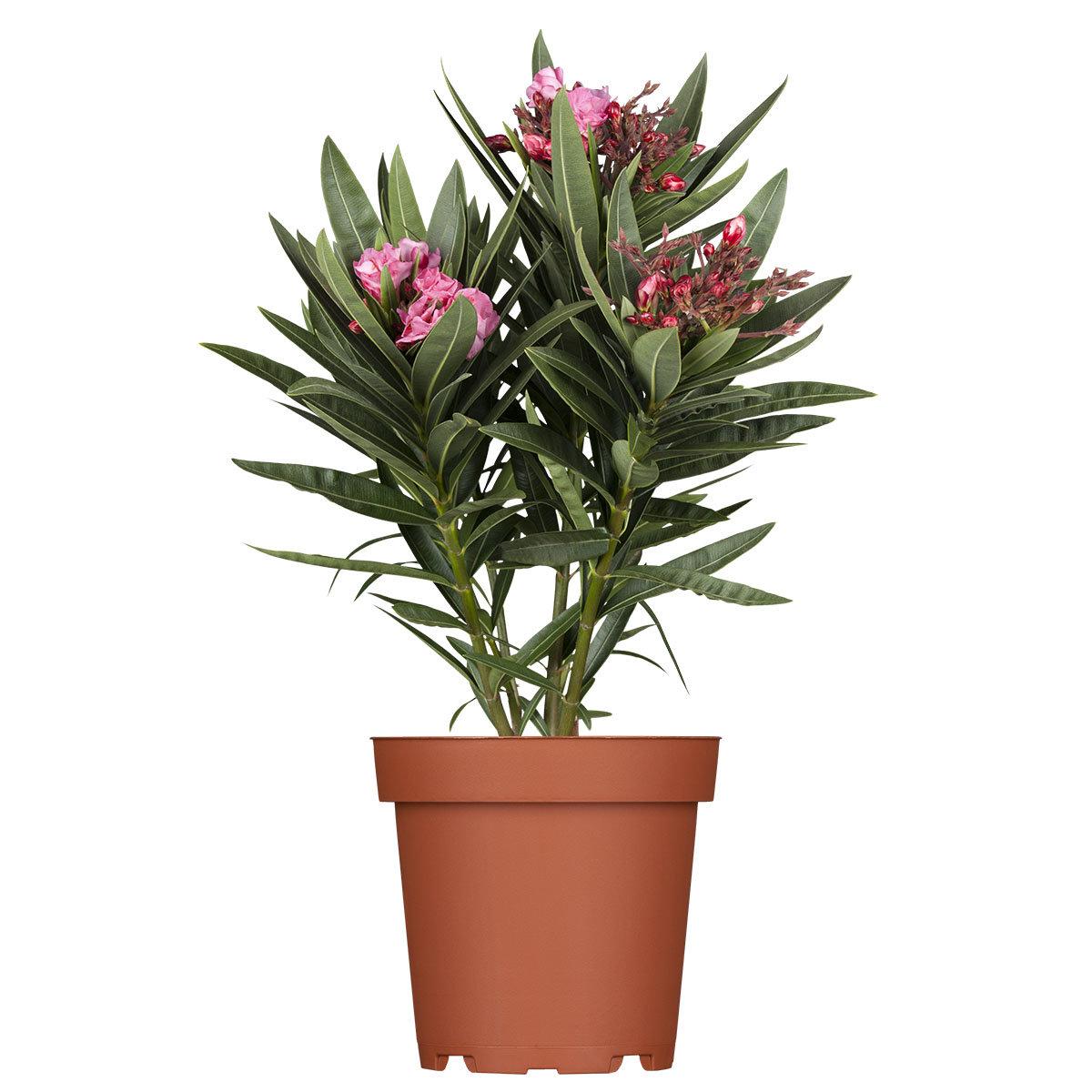 Oleander Busch, rosa, XL-Qualität | #2