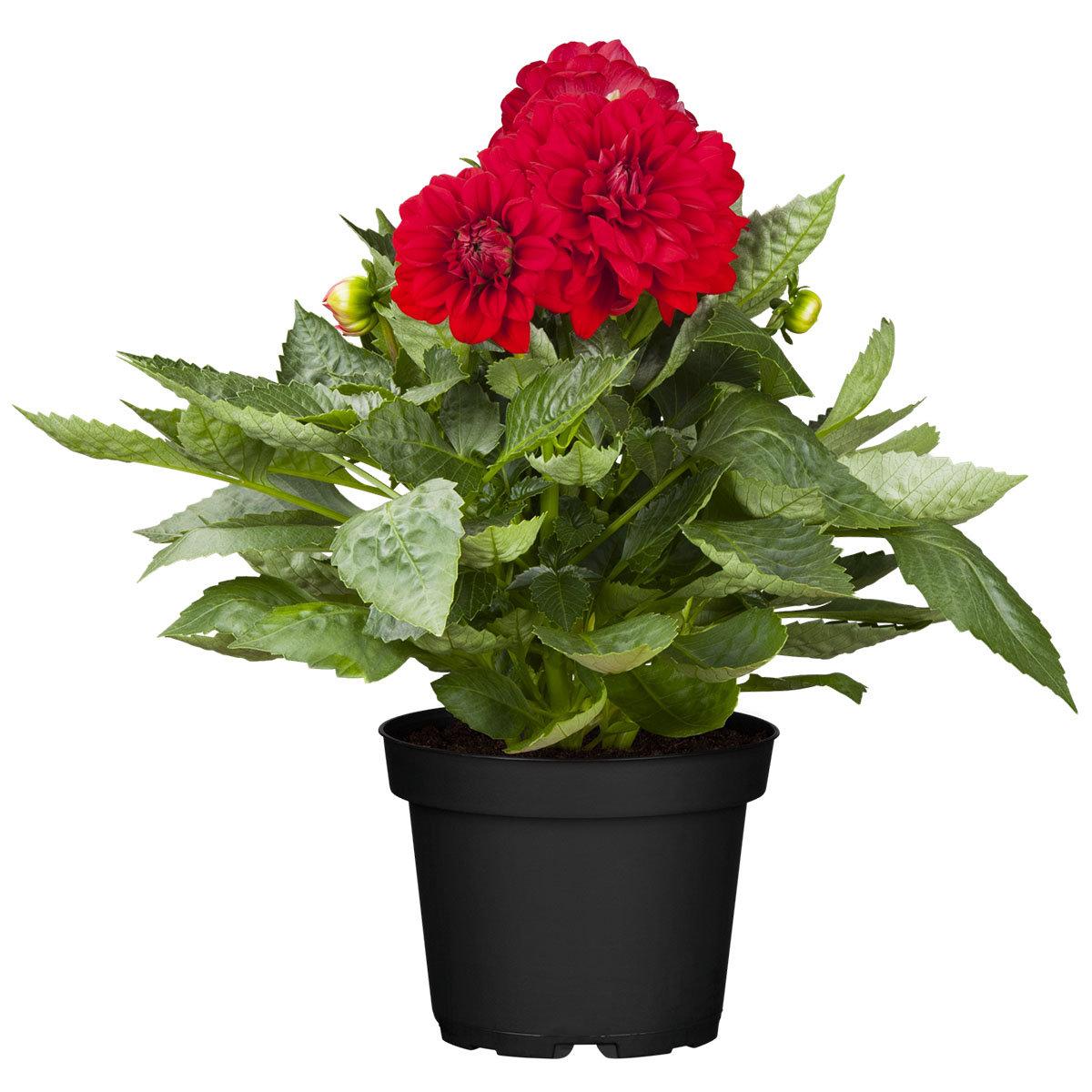 Dahlie, rot, XL -Qualität | #2