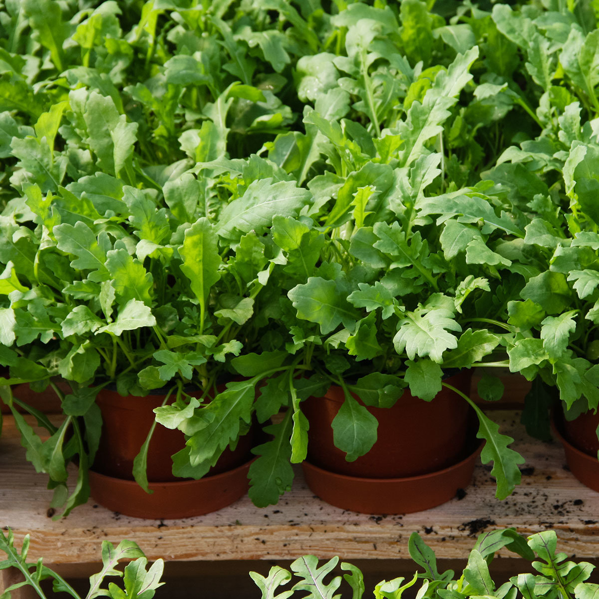 Rucolasamen Simply Salad Arugula, Multi-Pellets | #2