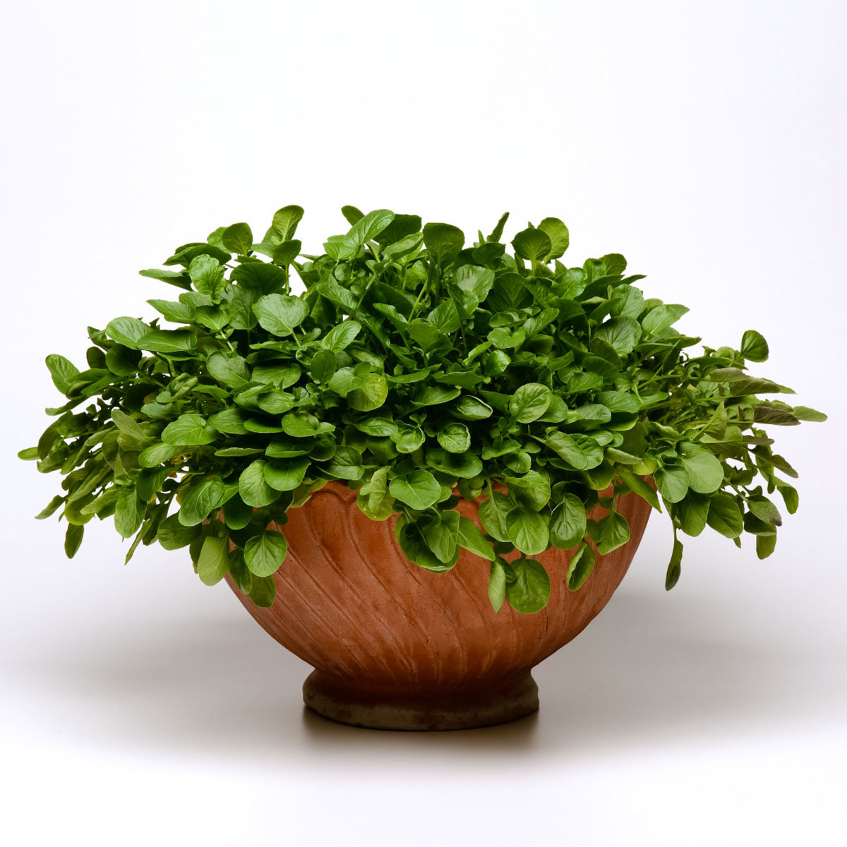 Landkressesamen Simply Salad Cress, Multi-Pellets | #2