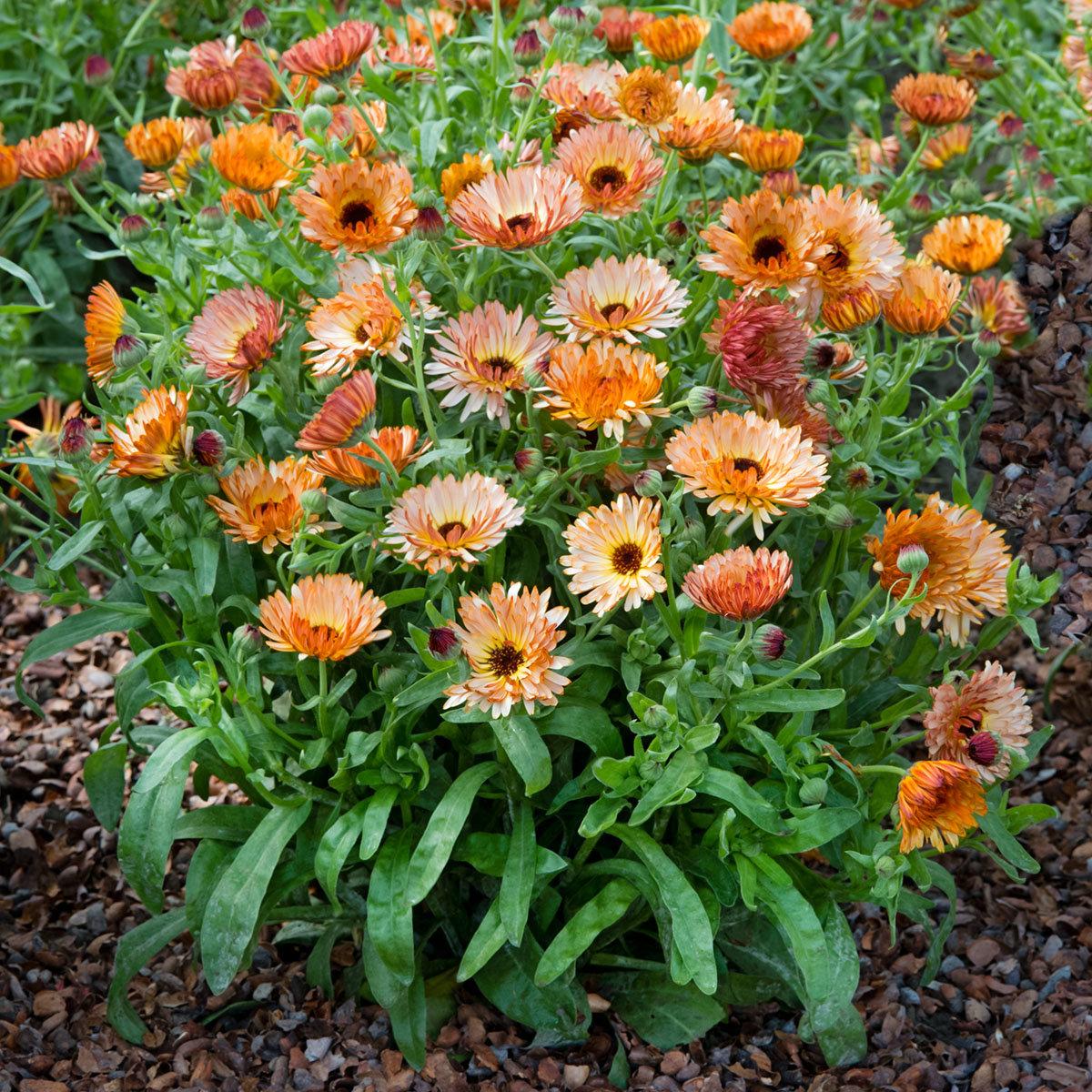 Ringelblumensamen Orange Flash | #2
