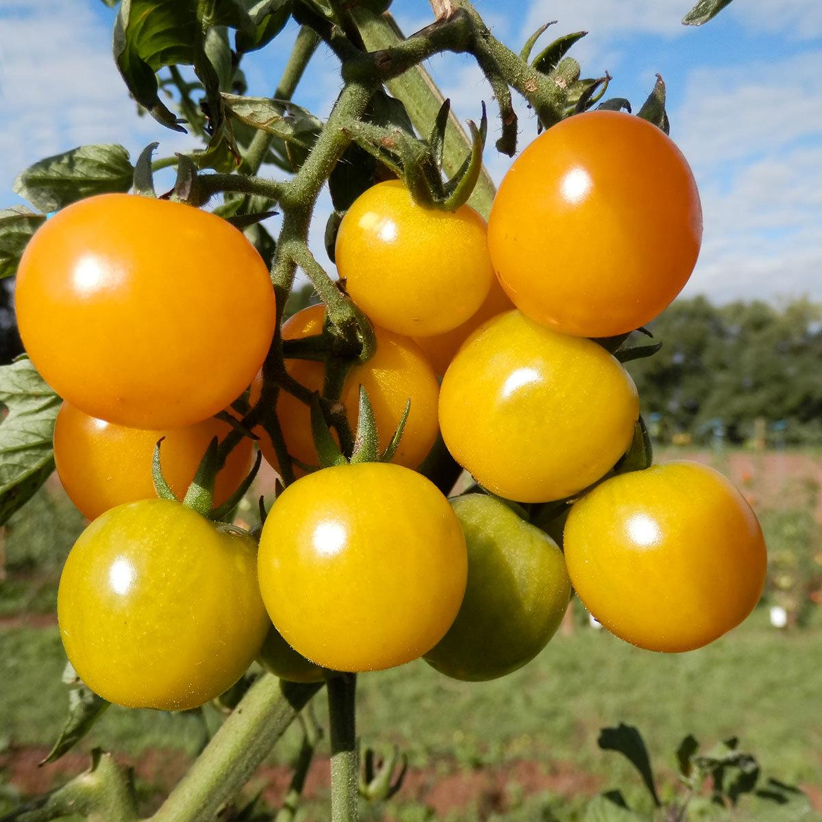 Tomatensamen Sunviva | #2