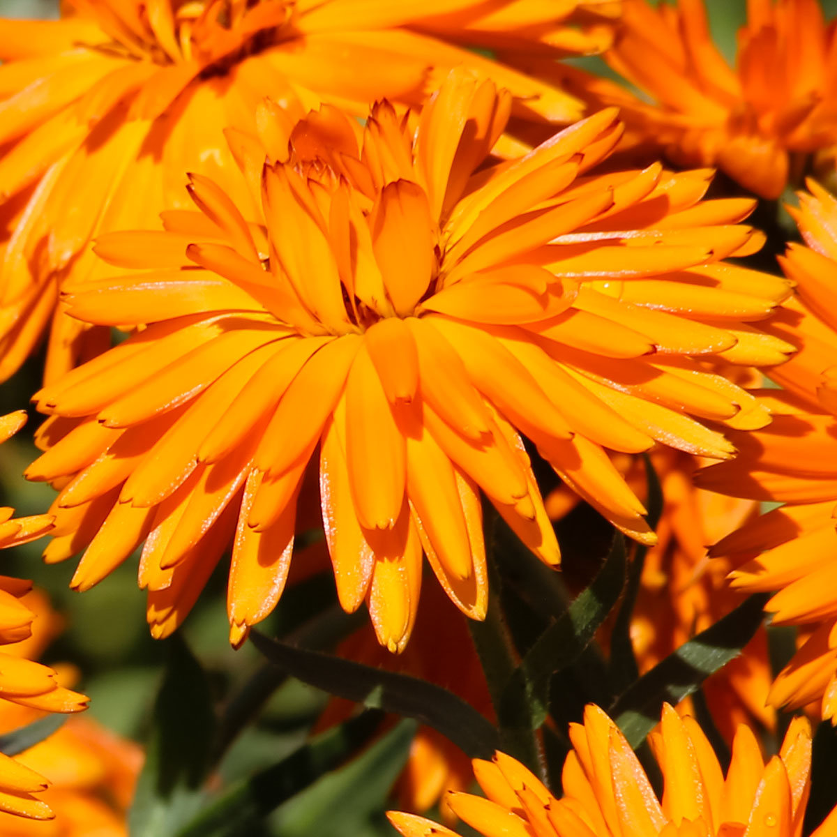 Ringelblumensamen Calexis Orange | #2