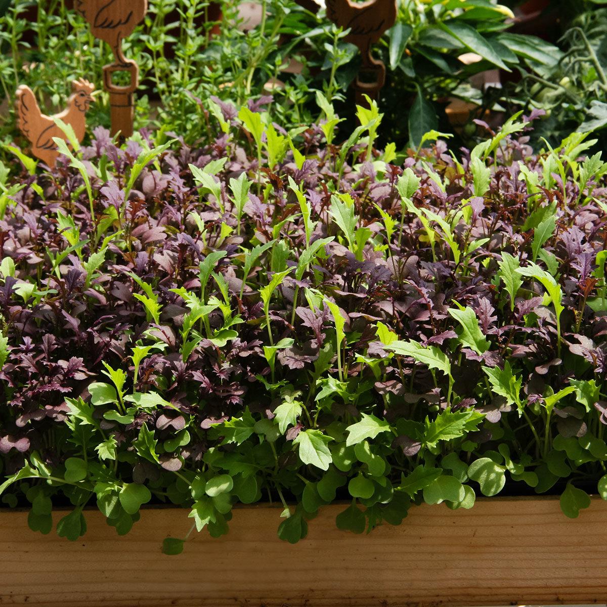 Samenmischung Asia Baby-Leaf-Salat | #2