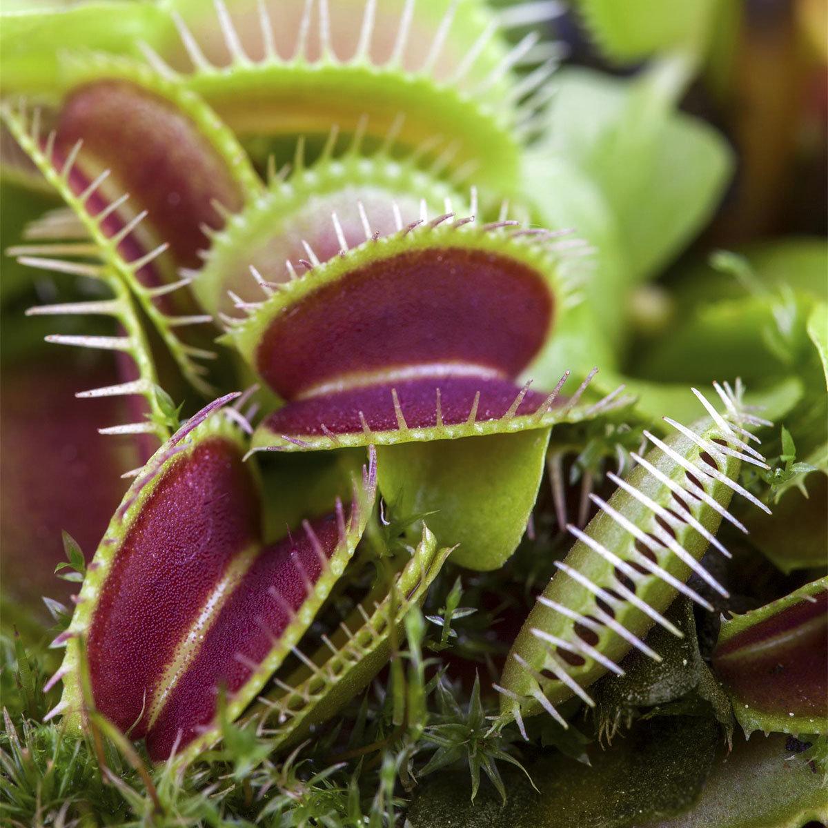 Set Fleischfressende Pflanzen, im ca. 9 cm-Topf | #2