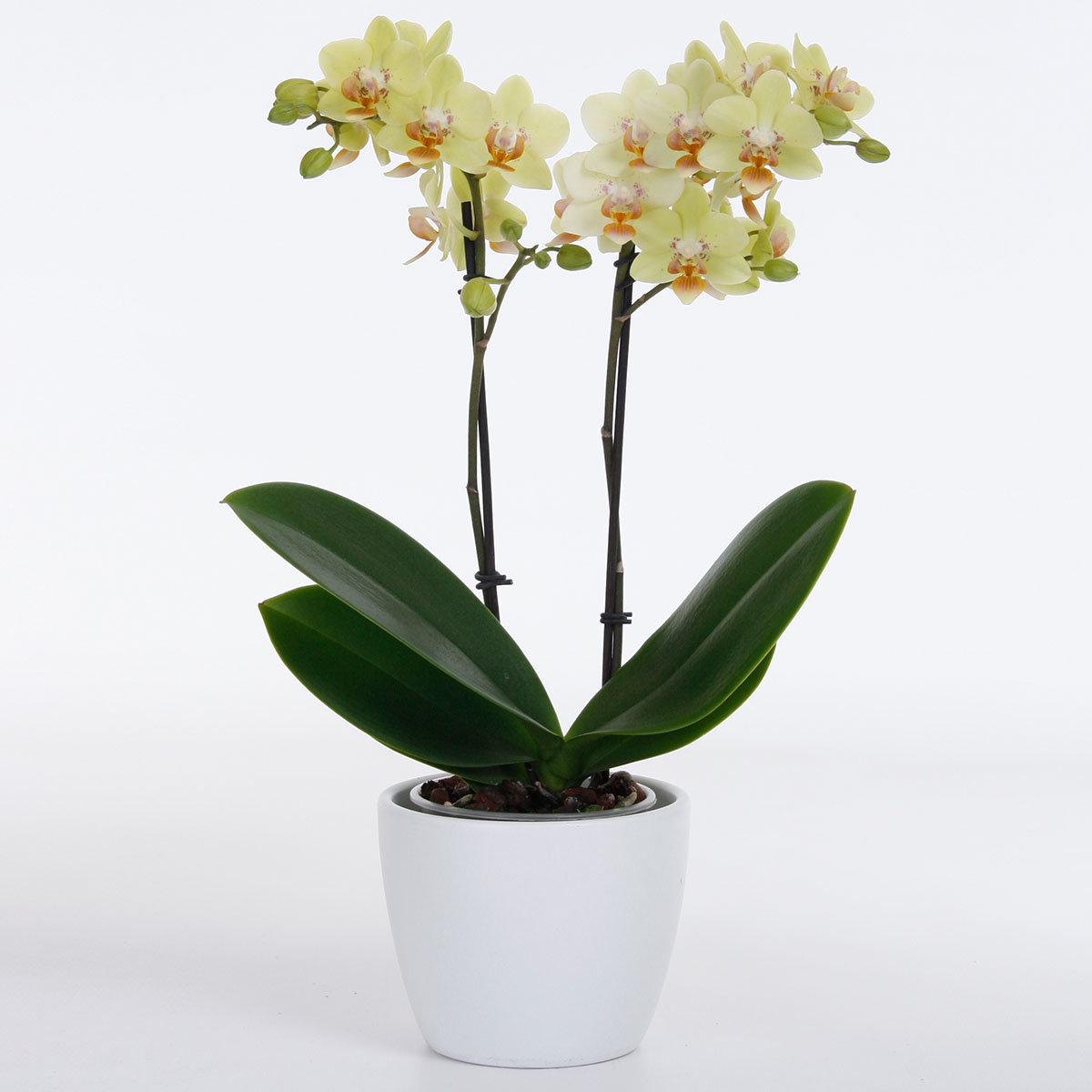 Schmetterlings-Orchidee Sunshine | #2