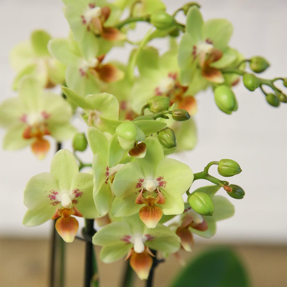 Schmetterlings-Orchidee Sunshine inklusive Über- und Wasserspeichertopf | #2