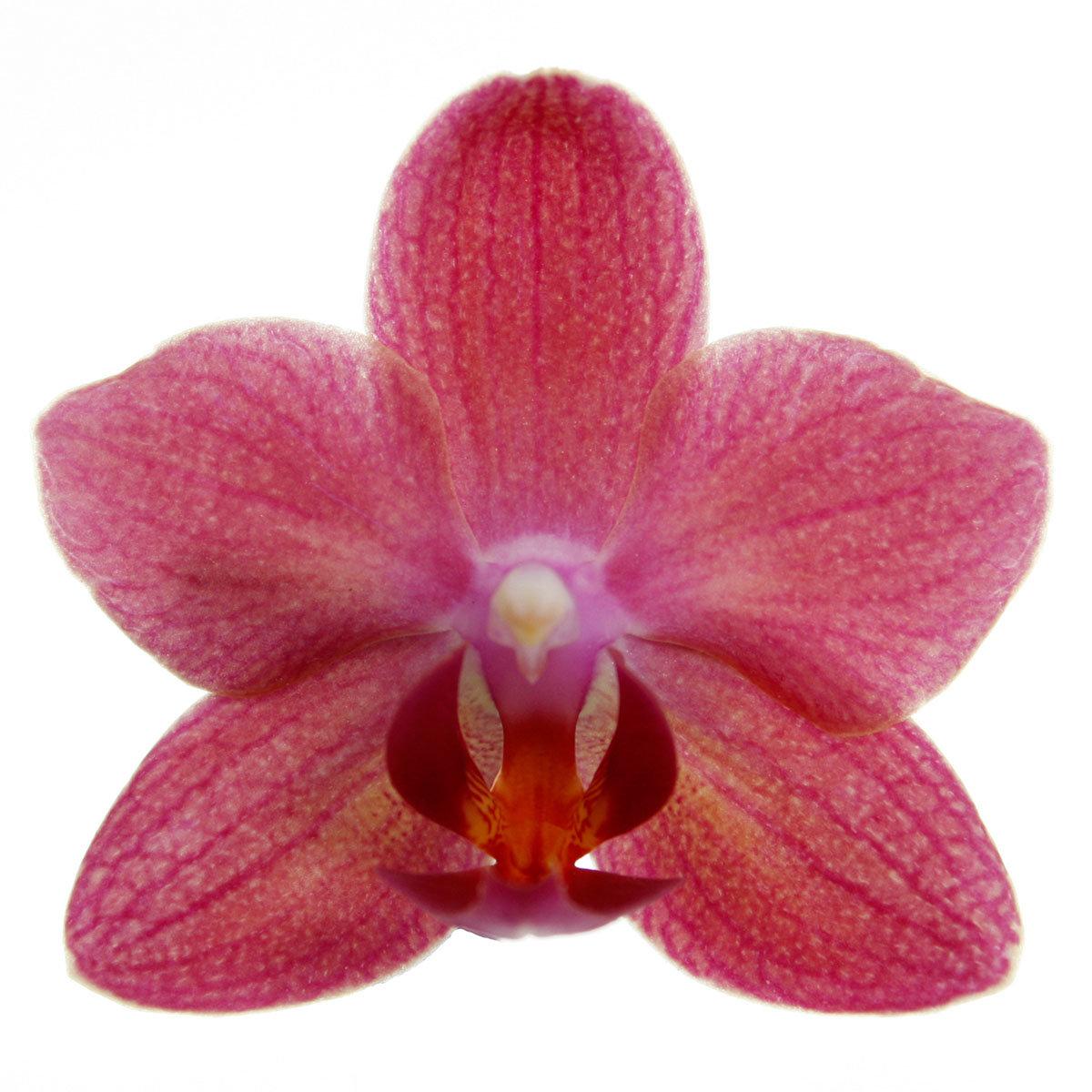 Schmetterlings-Orchidee Sunset | #2