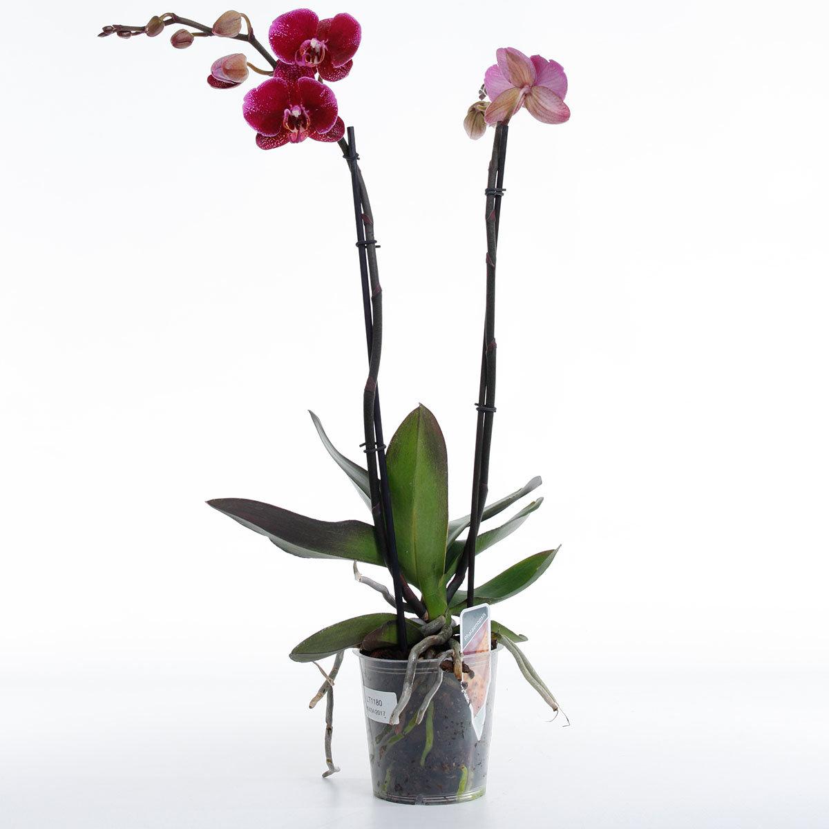 Schmetterlings-Orchidee Sonderfarbe | #2