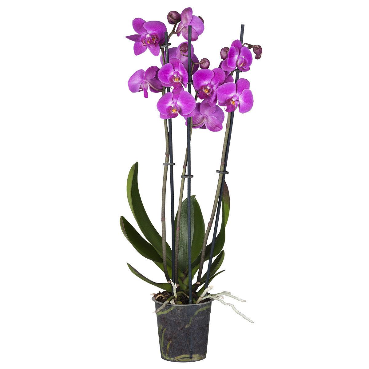Pinke Schmetterlings-Orchidee | #2