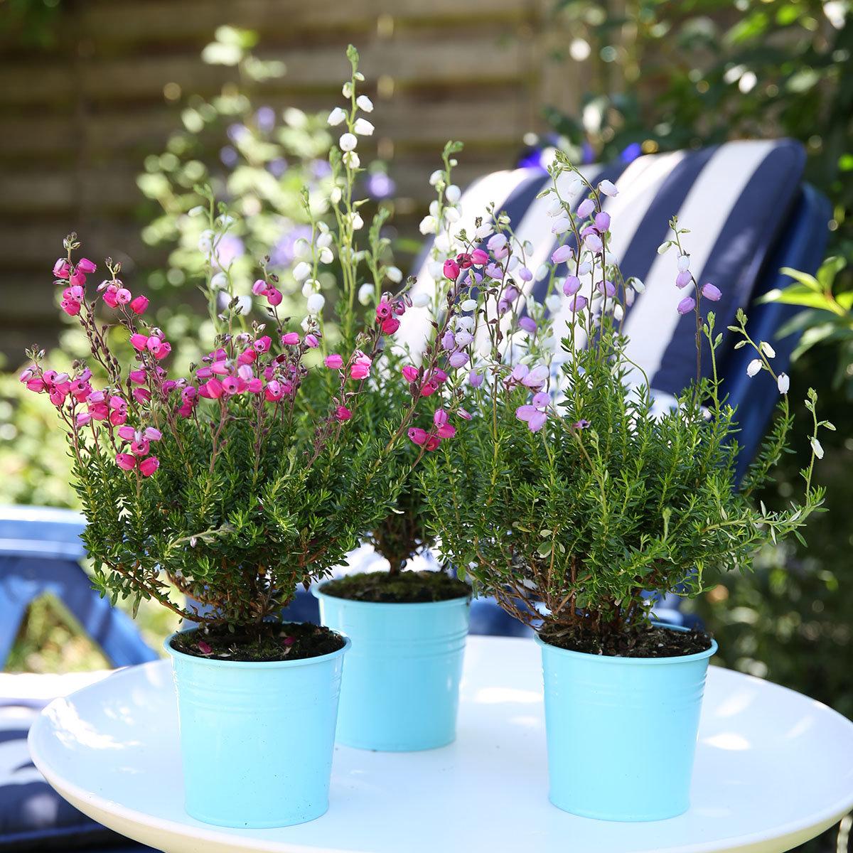 irische glockenheide violett online kaufen bei g rtner p tschke. Black Bedroom Furniture Sets. Home Design Ideas