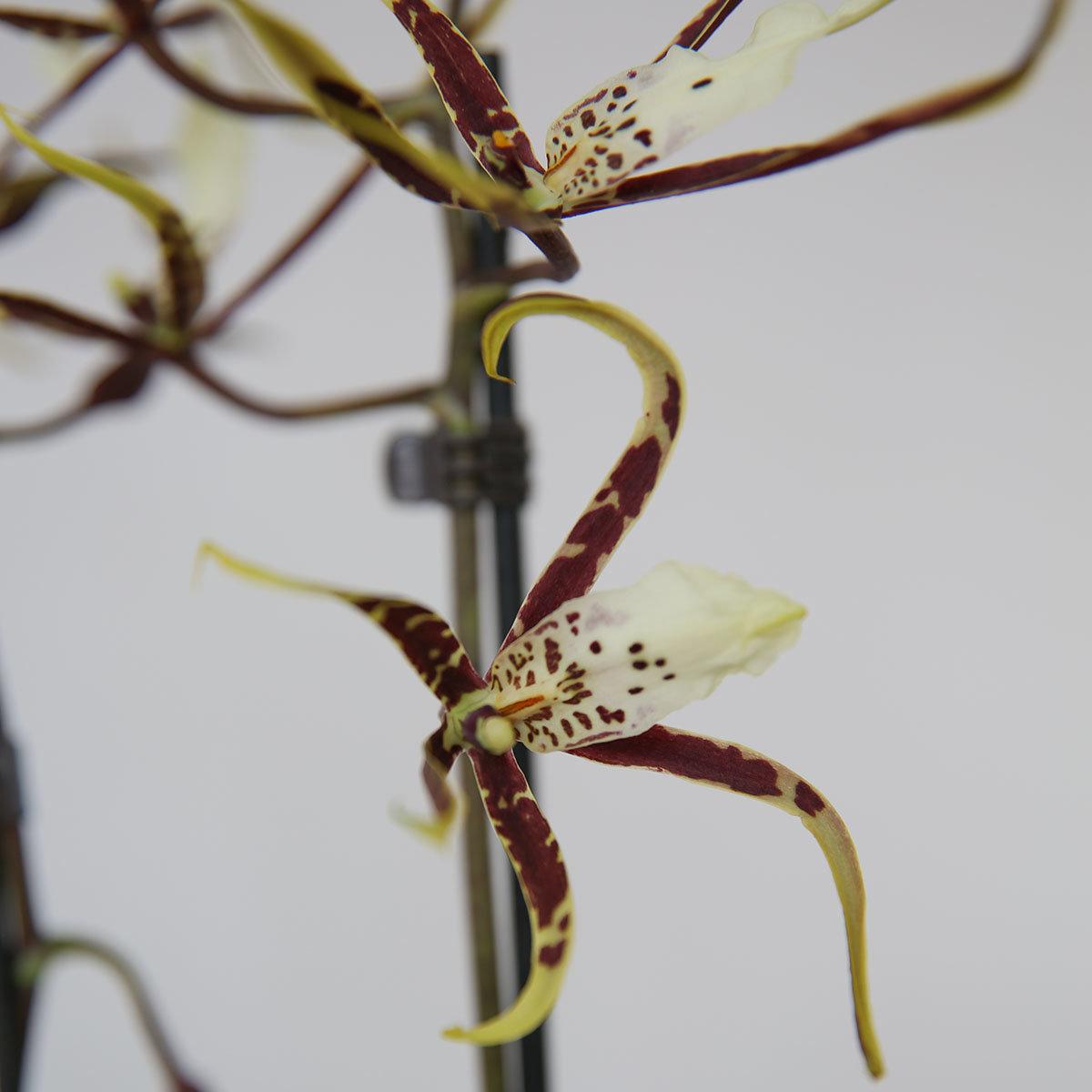 Spinnenorchidee Toscana | #2