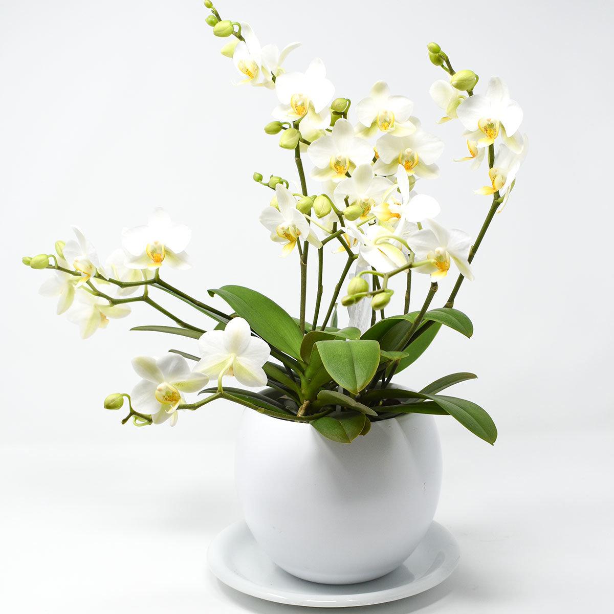 Schmetterlings-Orchidee Lausanne, im ca. 12 cm-Topf, mit Keramiktopf | #2