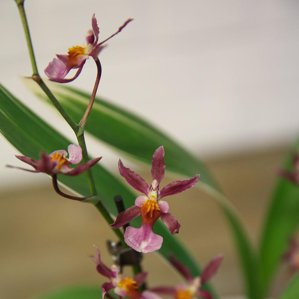 Orchidee Oncidium Katrin Zoch, gestreiftes Blatt | #2
