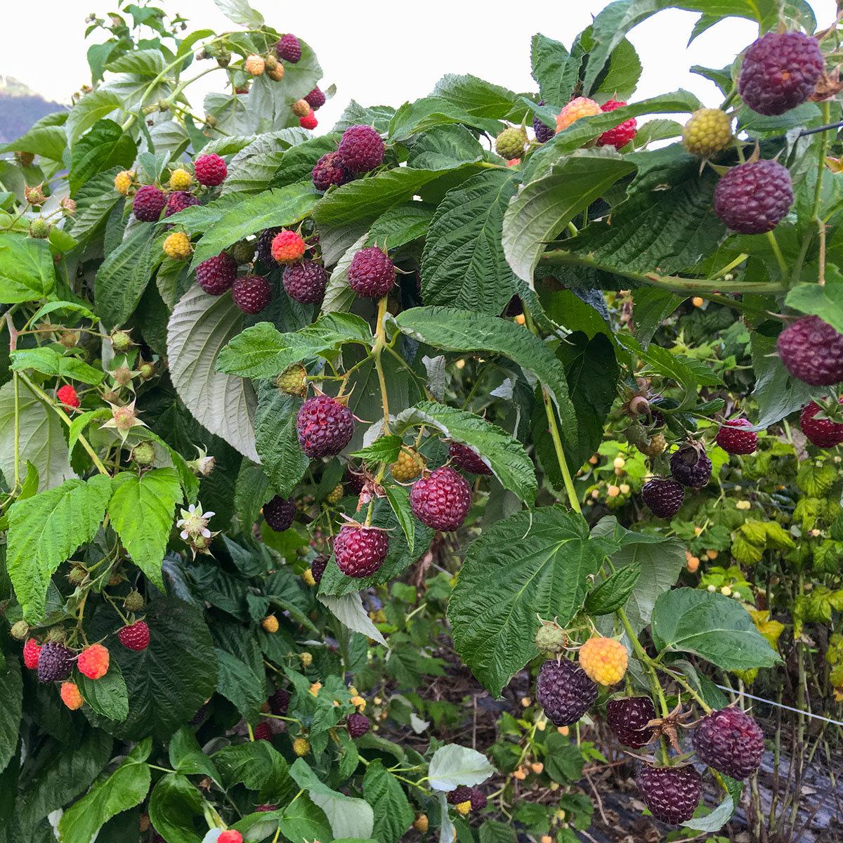 Purpurhimbeere Primeberry® Malling Passion®, im ca. 13 cm-Topf | #2