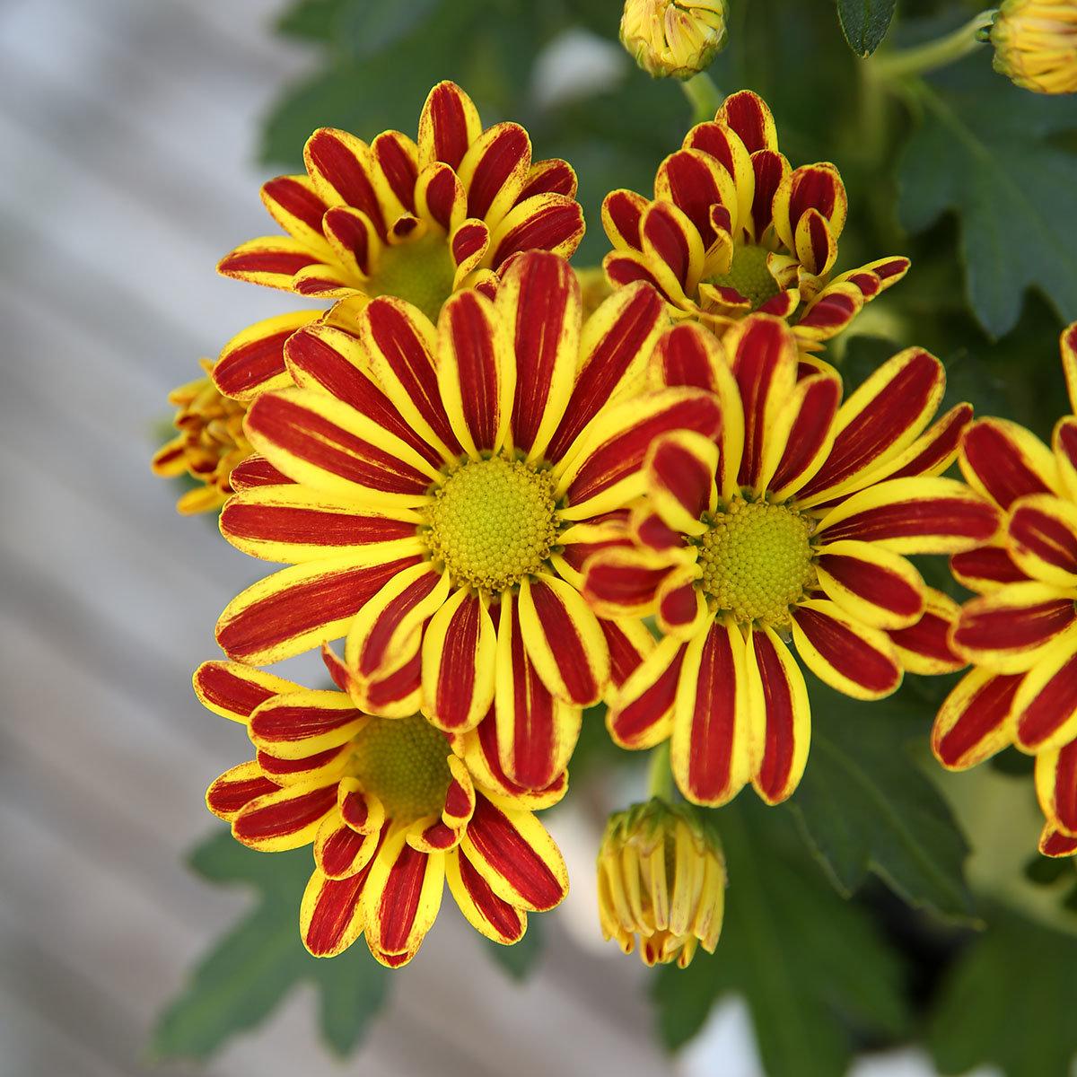 Gelbe Chrysantheme Melodie Vulcano | #2