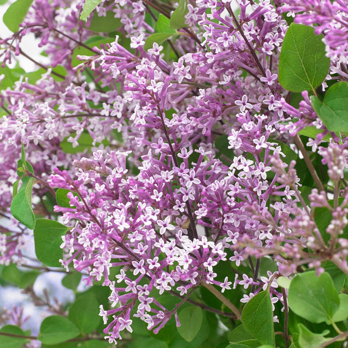 Zwerg Duftflieder Flowerfesta®  Purple, im ca. 19 cm-Topf | #2