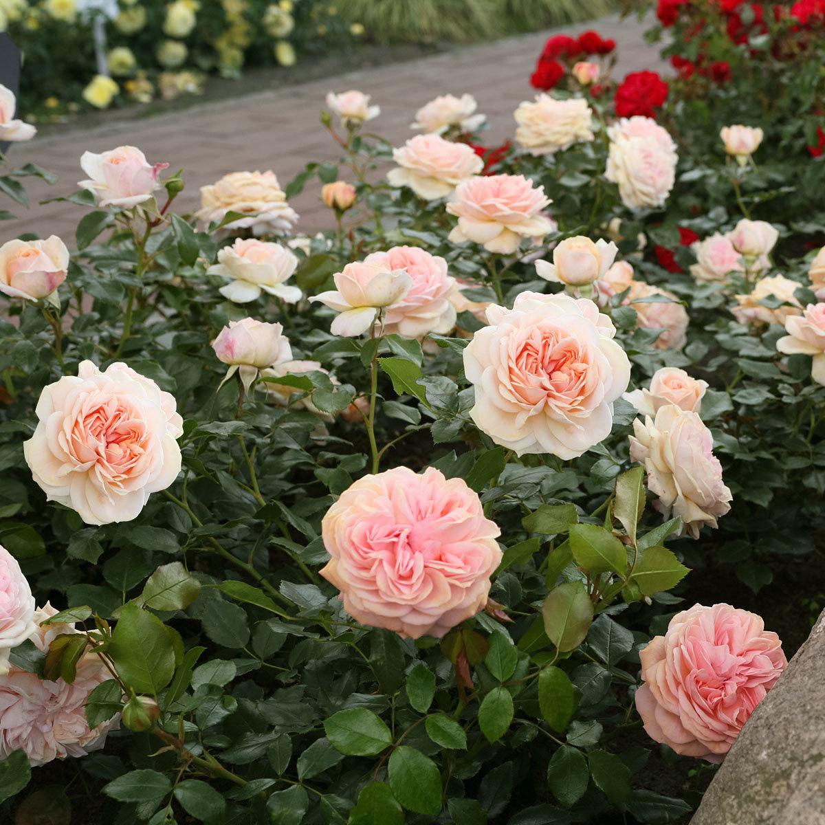 Beetrose Garden of Roses® | #2