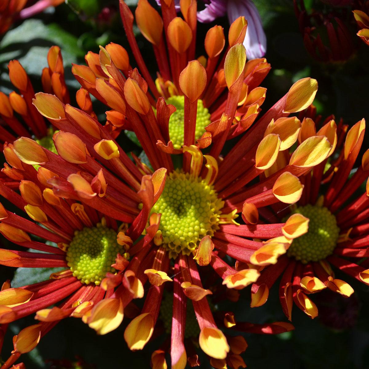orange chrysantheme melodie splash energie online kaufen bei g rtner p tschke. Black Bedroom Furniture Sets. Home Design Ideas