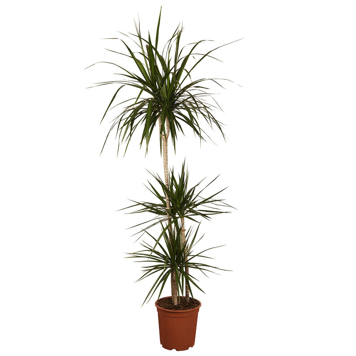 Drachenbaum Marginata, 3er Tuff, im ca. 24 cm-Topf | #2