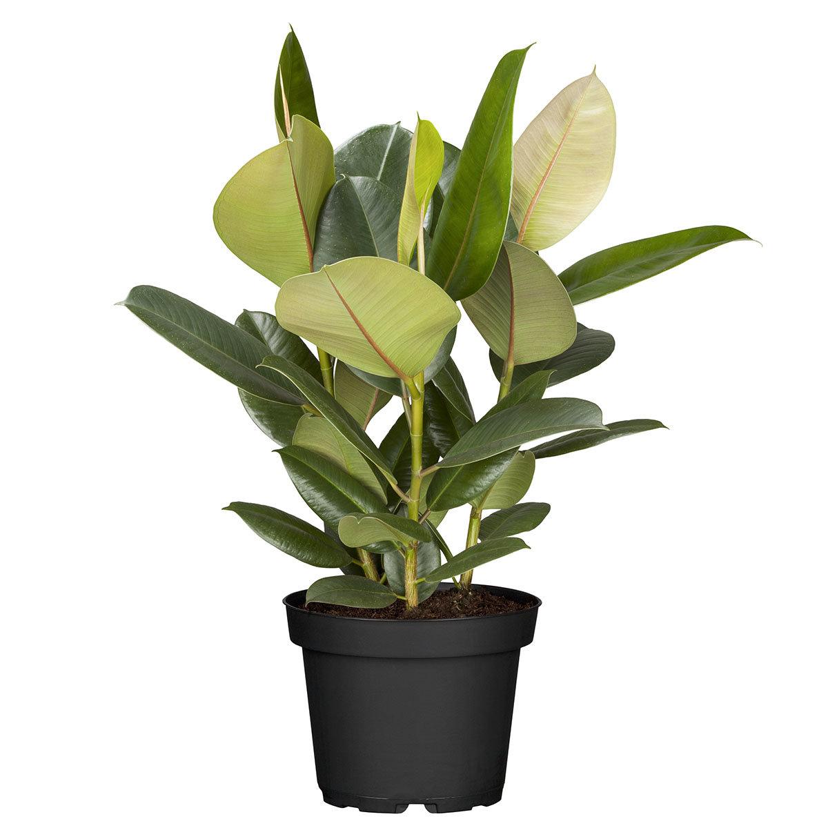Premium Feigenbaum, im ca. 27 cm-Topf | #2