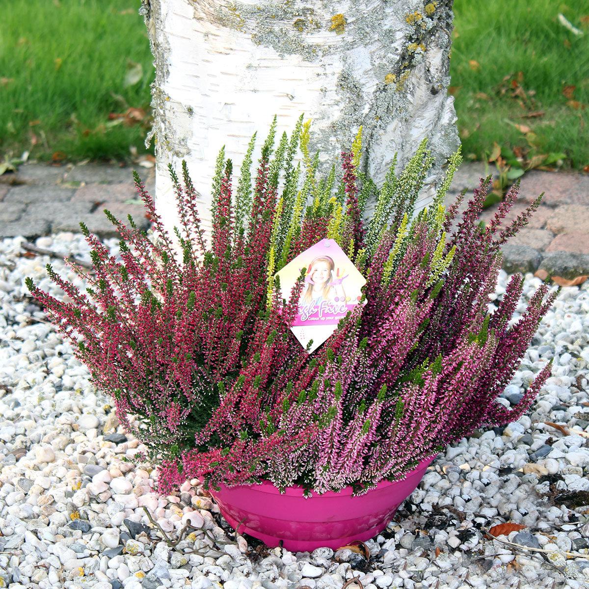 Pinke Schale Knospenheide Beauty Ladies | #2