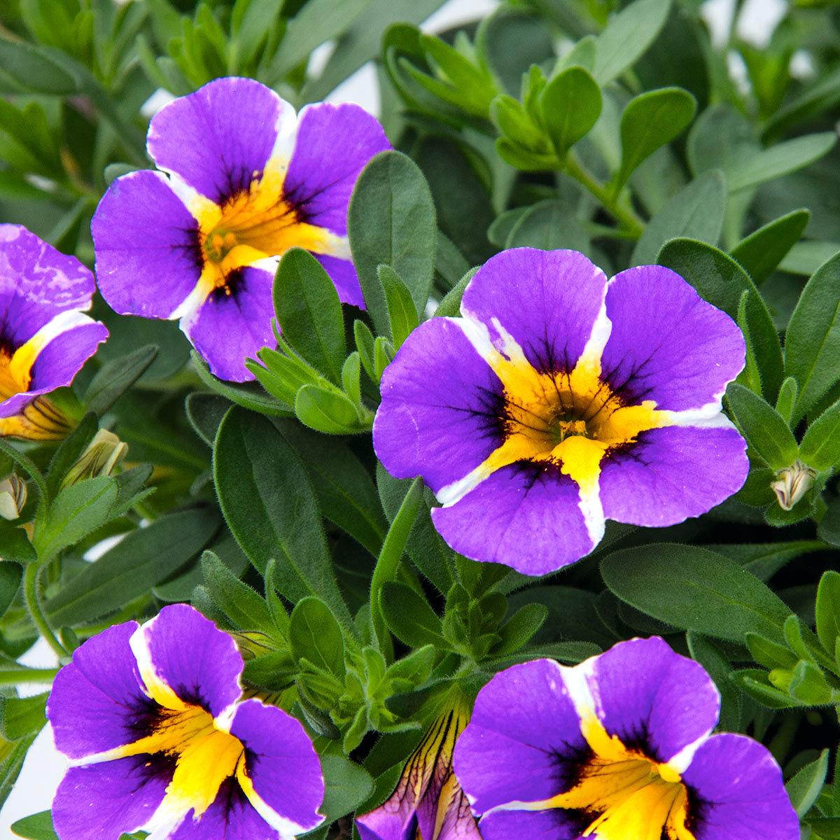 Gesterntes Zauberglöckchen Rave, violett, im ca. 12 cm-Topf | #2