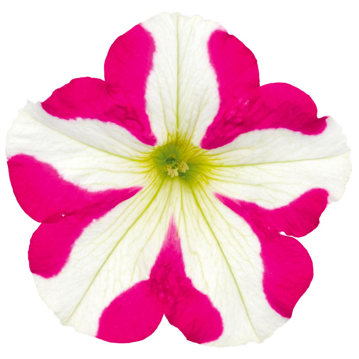 Herz-Petunie Amore™ Pink Hearts, im ca. 12 cm-Topf | #2