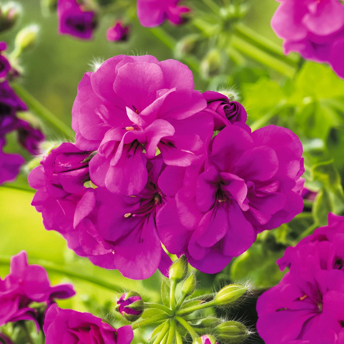 Violette Hänge-Geranie  Amelit, im ca. 12 cm-Topf | #2