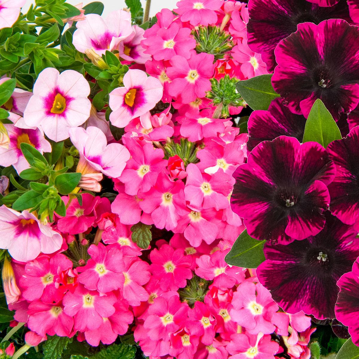Trio Confetti Garden™ Pirate's Beauty, im ca. 12 cm-Topf | #2